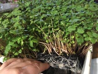 Les pousses (ici sarrasin) développent tout un système racinaire dans le terreau.