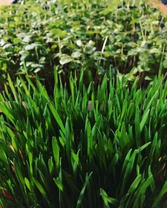 Sarrasin et herbe de blé à leur plein potentiel de chlorophylle et de vitamines.