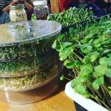Germoir à trois étages, un outil facile pour faire des germinations chez soi sans trop de places. Ici luzerne et trèfle, brocoli et fenugrec. Aussi sur la photo : pousses de sarrasin et tournesol, quinoa et amandes germés.