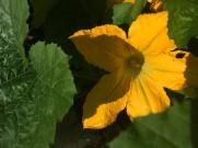Fleur de courgette, immense.